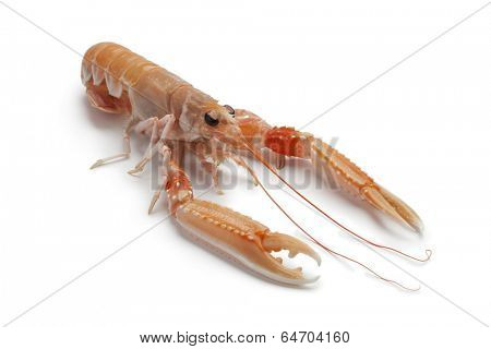 Single fresh raw langoustine on white background
