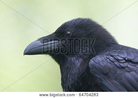 Common Raven Portrait