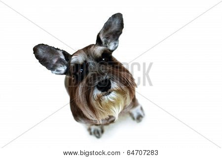 Funny Schnauzer With Raised Ears Sitting