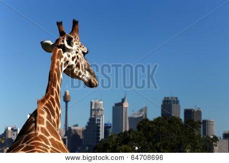 Giraffe at Taronga Zoo looks towards Sydney