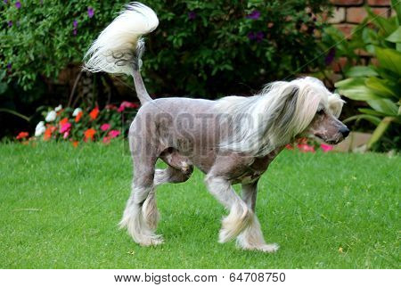 Pet Chinese Crested Dog in Garden