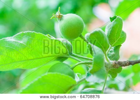 Tender New Leaves, And Ovaries Apples In The Spring