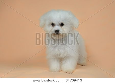 Female Bichon Frise Puppy