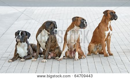 Boxer Dogs Pose In A Street