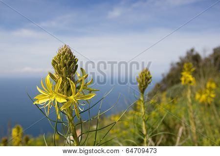 Yellow Flower On The Promontory Of Circeo, Italy