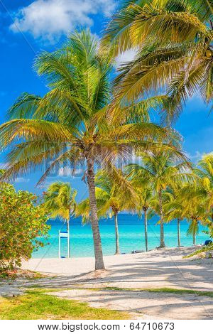 Coconut palm trees  on a sunny day at Varadero beach in Cuba