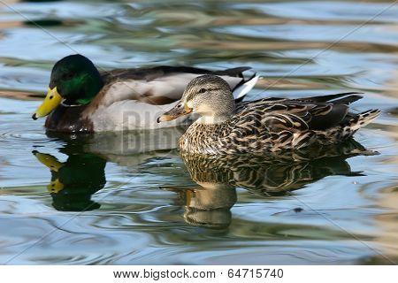 Mallard Ducks (anas Platyrhynchos) Male And Female