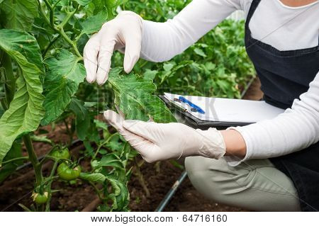 Gardening technician checking greenhouse plants