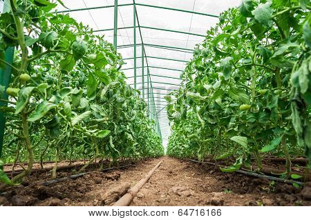 Tomato plants in green house