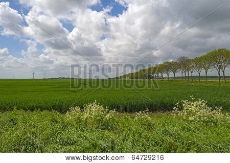Row of trees along a field with crop in spring