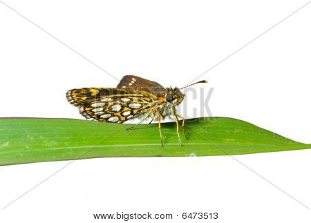 Small Butterfly On Grass-blade