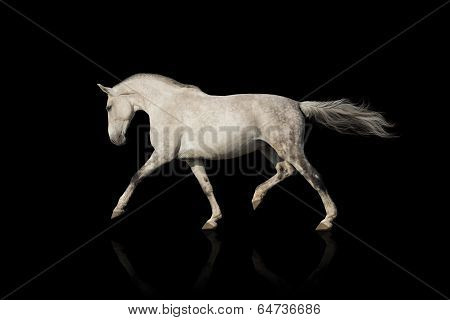White horse trot