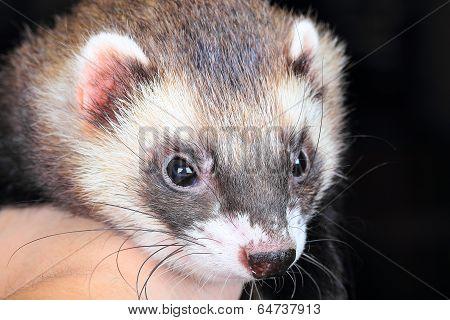 Close-up portrait of ferret
