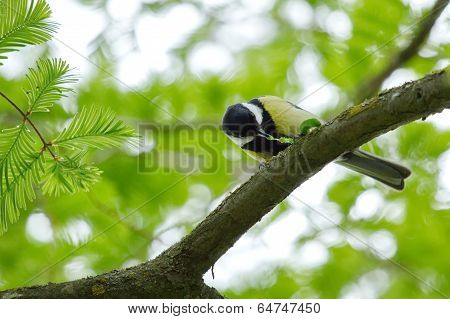 Great tit eating