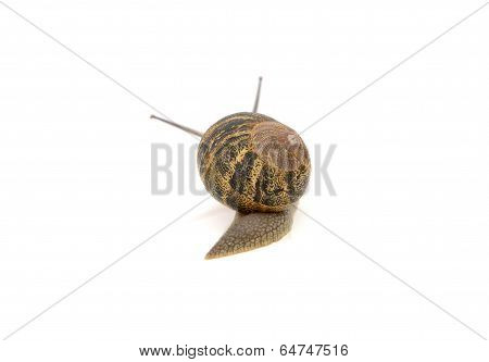 Snail With Stripey Shell Slides Away, Tentacles Visible Above Its Shell