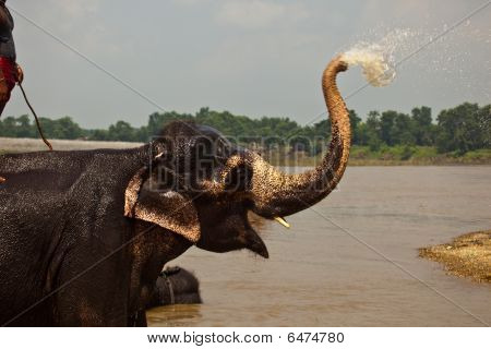 Elephant Squirting Water From Trunk During Bath