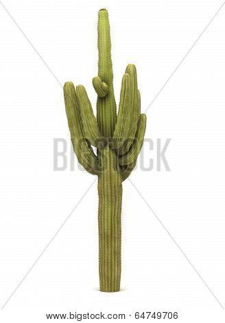 Single Cactus Tree