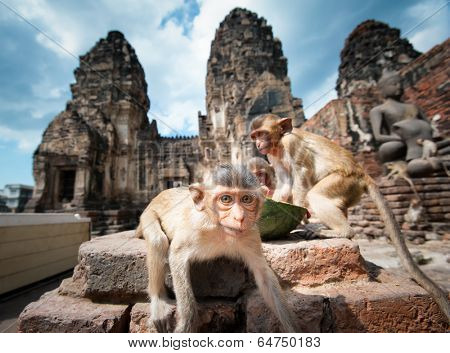 Lopburi Thailand. Monkey ( Crab-eating or Long-tailed macaque ) in Prang Sam Yot temple. Khmer ancient Buddhist pagoda ruins are famous thai tourist travel destination.