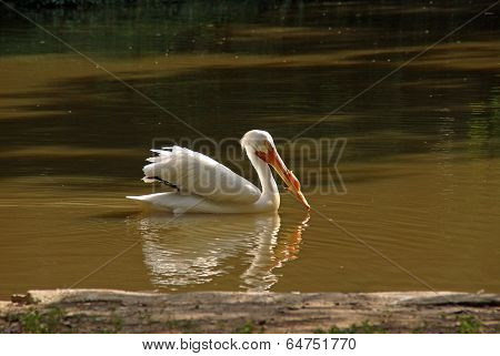 White Pelican With Fish