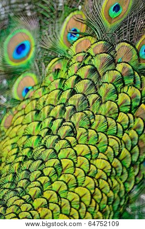 Male Green Peacock Feathers
