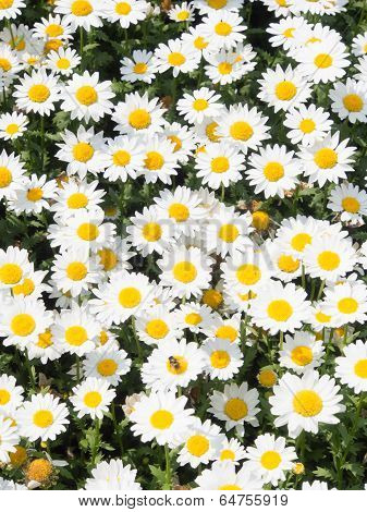 Flowers Of Daisies