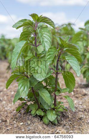 Japanese Mint (Mentha arvensis) plant