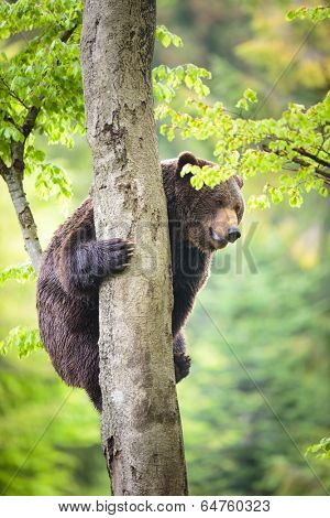 Brown bear (Ursus arctos), climbing