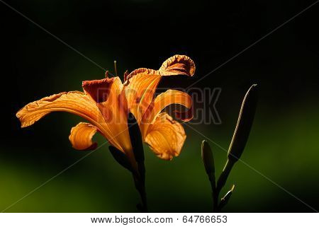 Close Up Of An Orange Daylily In The Sun