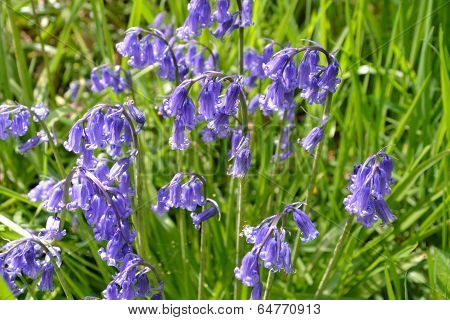 Large group of bluebells