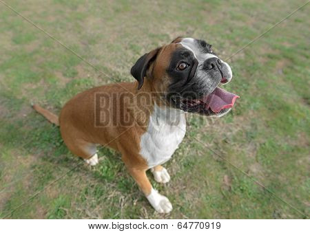 Female Boxer Dog In A Park