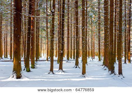 Beautiful Winter Forest Frosty Morning