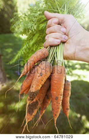 Hand holding bunch of fresh organic homegrown carrots harvested from garden with dirt