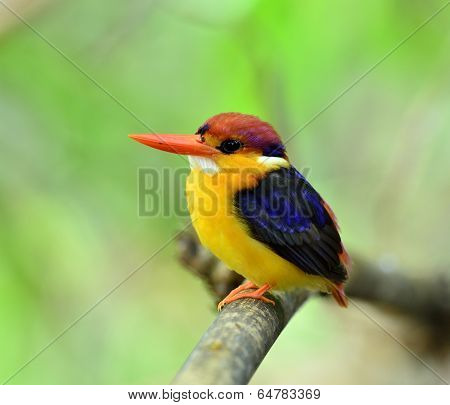 Black-backed Kingfisher, Ceyx Erithacus, A Little Cute And Tiny Multicolor Bird, Bird Of Thailand On