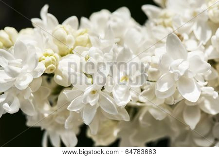 White Lilac Branch On Dark Background In Spring Closeup