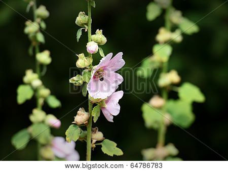 A Bee visits a Hollyhock Flower
