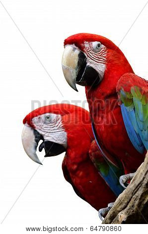 Red Macaw, Green-winged Macaw, Green Wing Macaw, Red Macaws In Lovely Moment, Isolated On White Back