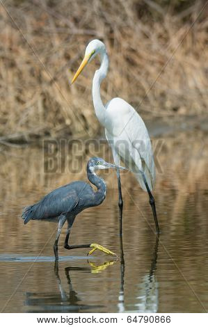 A Western Reef Heron (egretta Gularis) Walking Past A Great White Egret (egretta Alba)