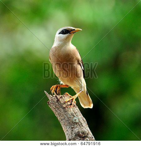 Venus-breasted Starling (sturnus Burnammicus) Birdperching On Top Of The Branch