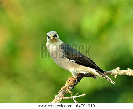 Venus-breasted Starling Bird (sturnus Burnammicus) Perching On The Beautiful Branch