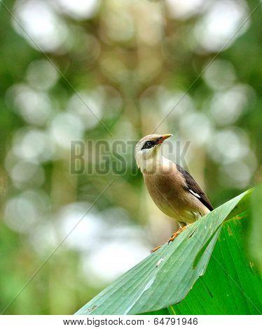 Venus-breasted Starling Bird (sturnus Burnammicus) Sitting On Banana Leaf With Nice Bokeh Background