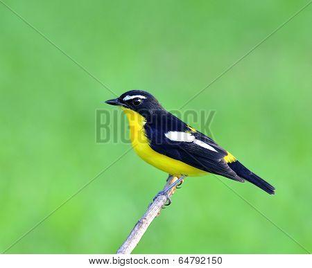 Yellow-rumped Flycatcher Bird (ficedula Zathopygia) Nice Perching On The Branch With Sharp Eyes