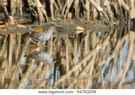 Common Redshank (tringa Totanus) Wading Through The Mangroves