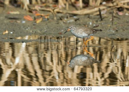 Common Redshank (tringa Totanus) Wading Through The Mangroves