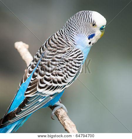 Light Blue Budgie