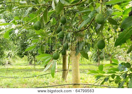 Avocados  growing on a tree, Avocados tree