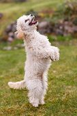 stock photo of standard poodle  - White poodle standing up on hind legs - JPG