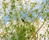 pic of weeping willow tree  - Starling on the branches of a weeping willow spring - JPG