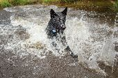 stock photo of rune  - Black dog runing in water for retrieve and splashing around - JPG
