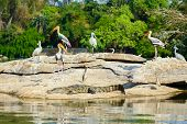 picture of sun perch  - A group of storks perched on a riverside rock with a crocodile basking in the sun in front - JPG