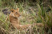 picture of lioness  - African lioness with her cub resting in grass Masai Mara National reserve kenya - JPG